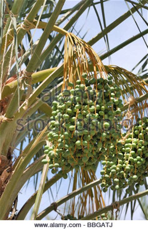 growing   palm arboretum oasis date palm tree
