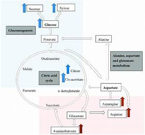 A Simplified Diagram Indicating The Citric Acid Cycle  The