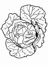 Cabbage Coloring Fun Votes sketch template