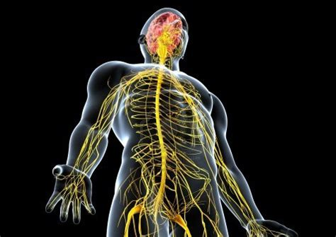 Endocrine And Nervous System