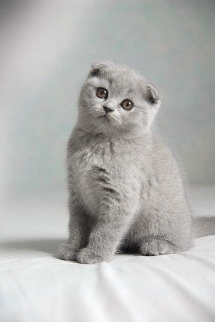 quiet cat breeds scottish fold kitten breeds cat