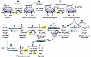 Glycolysis Explained In 10 Easy Steps  With Diagrams