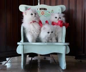 teacup cats for teacup kittens for by breeders in florida cats creation