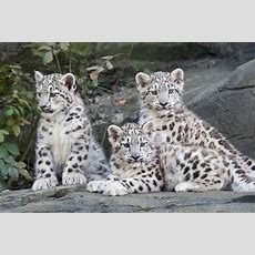 Snow Leopard Cubs Marwell Wildlife Gallery