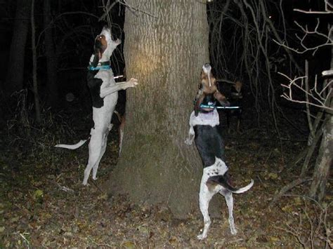 coon treeing walker dogs tennessee nashville americanlisted tn pets