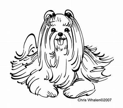Maltese Dog Drawing