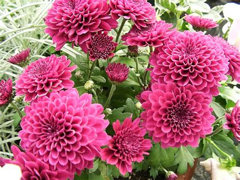grow dahlia dahlias how to grow and care for dahlia plants the garden helper garden helper gardening