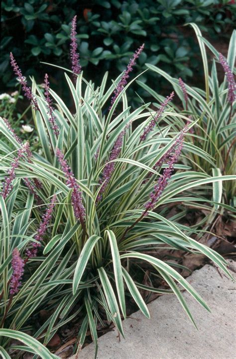 popular landscape plants getting the most from your liriope ground cover state by state gardening