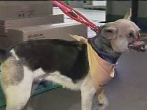 Philippine 'hero dog' with no snout flown to US for ...