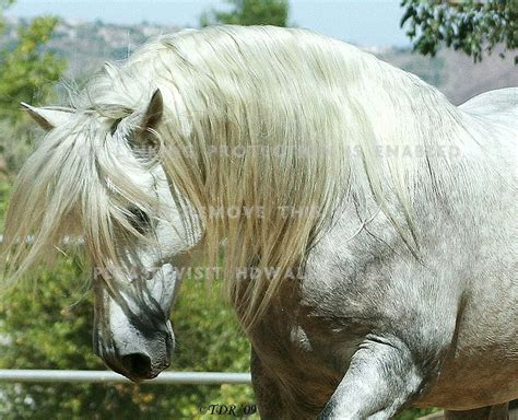 andalusian horses horse spanish iberian animals spain hd andalusion cat
