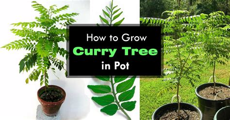 growing curry leaves plant   grow curry tree