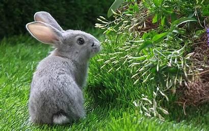 Rabbit Rabbits Wallpapers Animals Backyard Gray Desktop