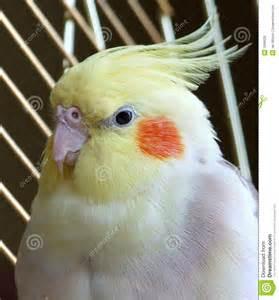 Female Cockatiel Birds Cages