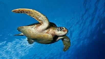 Turtle Background Turtles Desktop Wallpapers 4k Sea