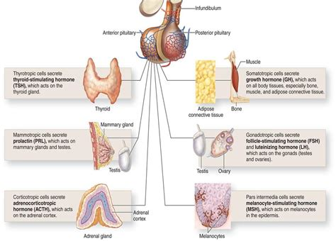 Endocrine System At Cypress College Studyblue