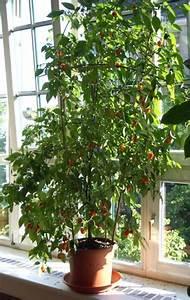 Baum Für Wohnzimmer : chili z chten die tipps und tricks f r die wohnung pepperworld ~ Markanthonyermac.com Haus und Dekorationen