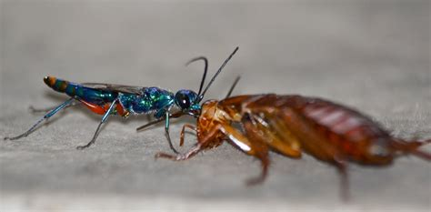 wasp parasitic roaches zombie slaves cockroach into emerald turns master nc before neurotoxic cocktail using thy nd bow cc credit