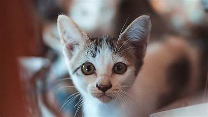 Kitten Laptop Tablet