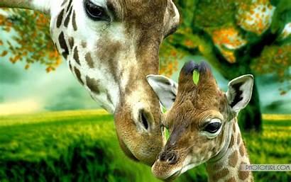 Geographic National Giraffe Wallpapers Animal Giraffes Peacock