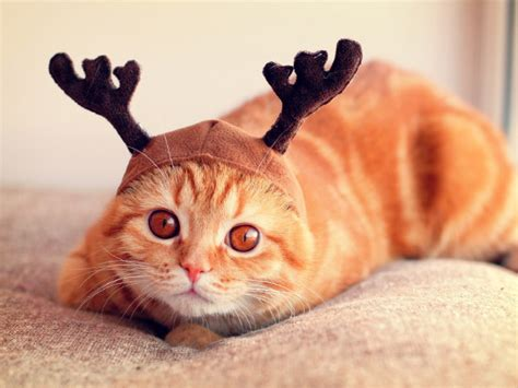 la galleria fotografica dei gatti  il cappello