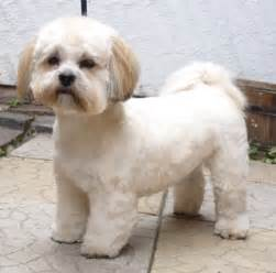1000 images about lhasa apso fazon on pinterest lhasa