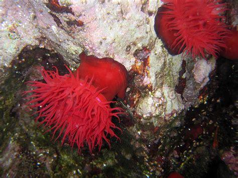 anemone reproduction cnidaria