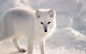 nf27-white-artic-fox-snow-winter-animal-wallpaper