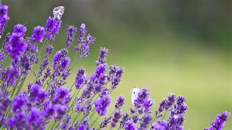Lavendel Im Garten Pflanzen Und Schneiden