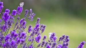Garten Pflanzen : lavendel im garten pflanzen und schneiden ~ Eleganceandgraceweddings.com Haus und Dekorationen