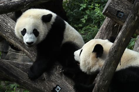 giant pandas   longer endangered