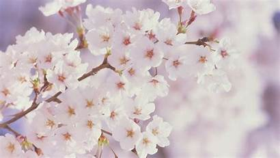 Cherry Wallpapers Blossoms Flowers