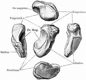 Scaphoid bone; Navicular Bone of Hand