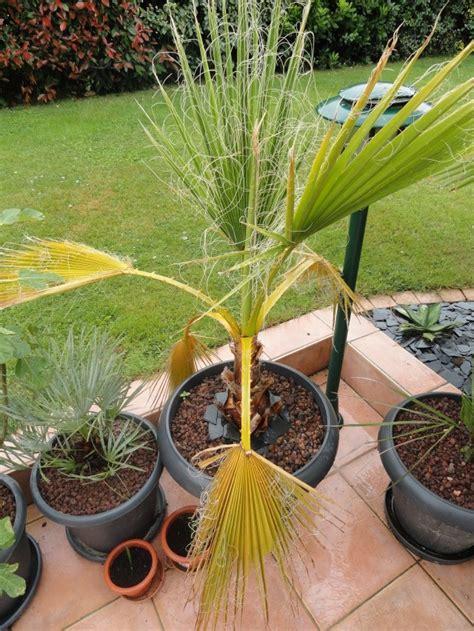 le forum des fous de palmiers washingtonia robusta en pot