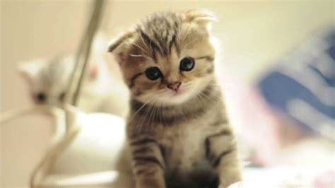 munchkin cat scottish fold munchkin cat history characteristics and temperament