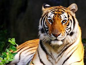 Colors Of Nature Tiger Hd Wallpapers
