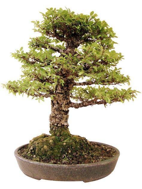 chinesische ulme bonsai chinesische ulme k ul genki bonsai