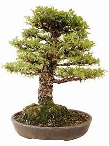 Bonsai Chinesische Ulme : chinesische ulme k ul genki bonsai ~ Frokenaadalensverden.com Haus und Dekorationen