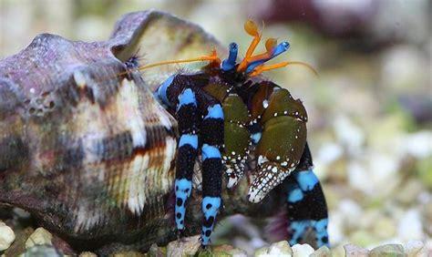 bernard l hermite aquarium recifal articles de disneypixar73 tagg 233 s quot bernard l hermite quot aquarium color skyrock
