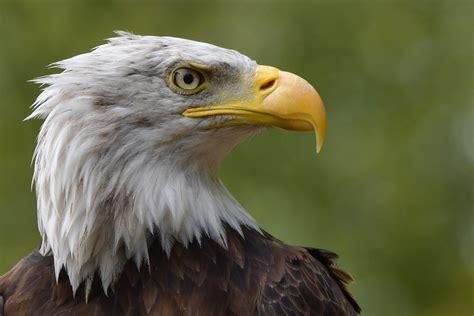 Der Wappenvogel Amerikas Foto & Bild | tiere, zoo ...