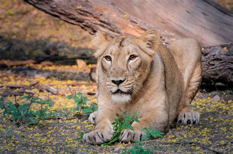 Getting Lions From India More Than Bringing Panda From China