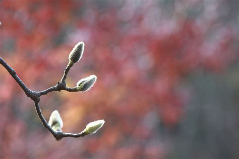 magnolia buds dont open