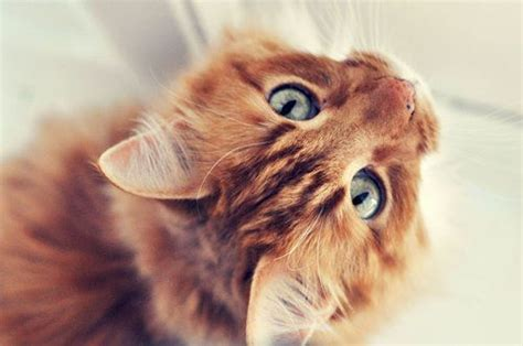 Orange Tabby Cat. Blue Eyes. So Cute!