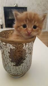 Beautiful fluffy ginger and white male kitten | Wednesbury ...