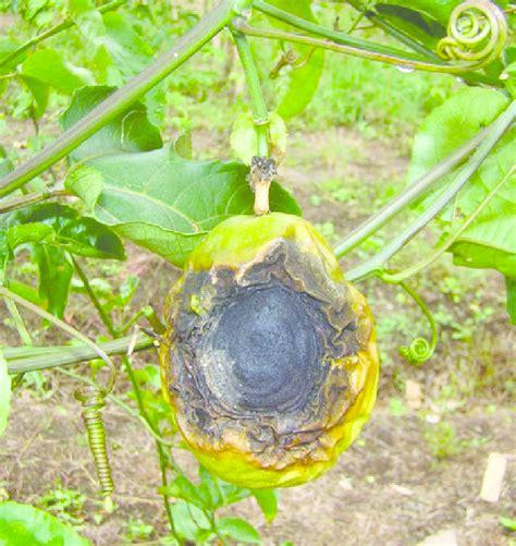 Fruto de maracuyá afectado por Antracnosis en estado avanzado. Foto:... | Download Scientific ...
