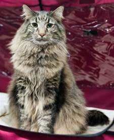 forest cat personality image gallery forest cat characteristics