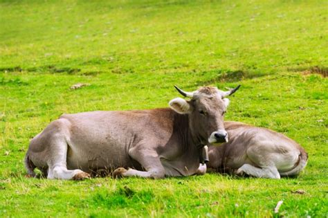 Zaun Aus Weide 302 by Animals Meadow Vektoren Fotos Und Psd Dateien