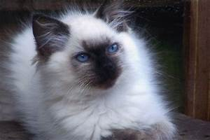 Gorgeous Seal Point, Ragdoll Kittens Ready! | Scunthorpe ...