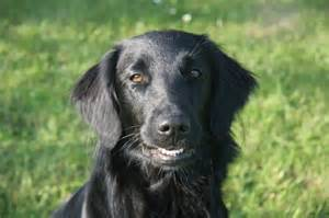 flat coated retriever breed gallery