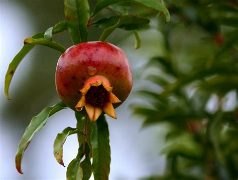 melograno coltivazione in vaso come coltivare il melograno coltivazione