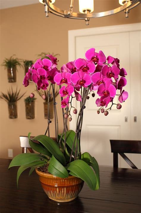 caring for orchids indoors after bloom 108 best images about phalaenopsis orchids on pinterest orchid flowers florists and purple